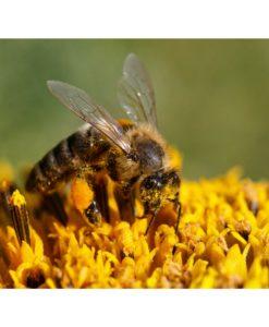 honing bij bloemen